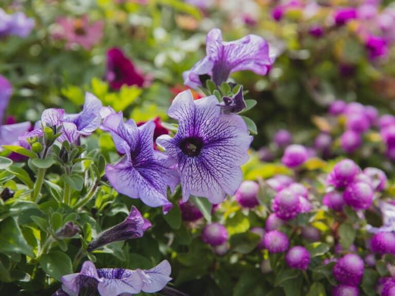 petunias for plant sale